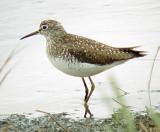 Ensley Bottoms - Shore Birds