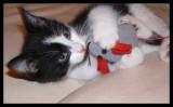 Kitten Leo