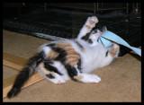 Ribbon-fool Lily