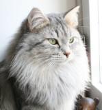 Izzi - IC Izida von der Goldenen Sima - Siberian Cat - Siperiankissa