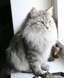 Izzi is silver mackerel tabby female