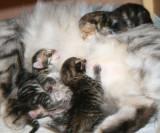 Amante's Siberian Cats  - litter I - I-pentue