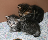Amante's Siberian Cats  - litter I   -  2 and 3 weeks
