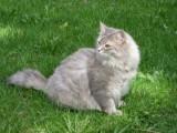Amanda, Heta & Faust - Siberian Cats