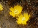 Golden Barrel Cactus Flowers