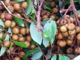 Longan  (Dimocarpus longan)