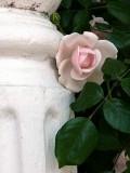 Vineyard Rose ~ June 19th