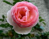 the last rose.