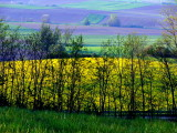 le champ de colza.