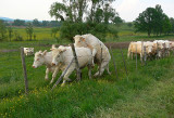 white cows.