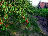 cerisier et vigne.