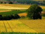 champs de céréales.