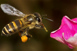 A Bee's Breakfast  (a photo essay)
