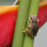 Poison Arrow frog 4