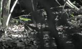 basilisk lizard (Jesus Christ Lizard)