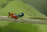 Rainbow cricket