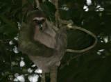 3 toe sloth 2