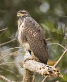 Immature black hawk