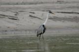 white neck heron