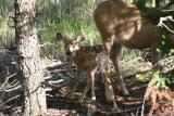 Baby mule deer and mom.jpg