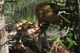 Baby mule deer feeding.jpg