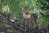Baby mule deer.jpg
