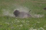 Bison taking dust bath.jpg