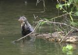 Giant otter eating fish.jpg