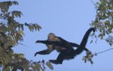 Mother and baby White faced Capucin Monkeys jumping.jpg