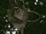 Three-toed Sloth-2.jpg