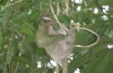 Three-toed Sloth.jpg