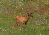 Young Elk.jpg
