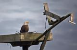 Eagle on platform