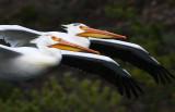 2 pelicans in flight-crop