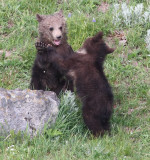 2 cubs playing YELS2212.JPG