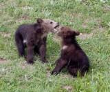 2 cubs playing YELS2220.jpg