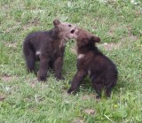 2 cubs playing YELS2221.JPG