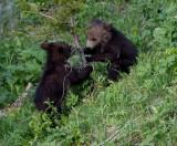 2 cubs playing YELS2443.jpg