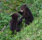 2 cubs playing YELS2445 dpp.jpg