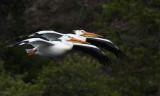 2 pelicans in flight YELS1808.jpg