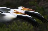 2 pelicans in flight-crop YELS1808.jpg