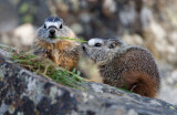 Baby marmotts YELS0434.jpg