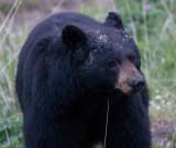 Black Bear at 6400 ISO YELS0389.jpg