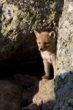 Coyote pup YELS7103-ps.jpg