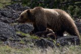 Grizzly YELS0264-ps.jpg