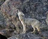 Howling Coyote YELS7282.jpg