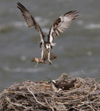 Osprey with nest material YELS0614.jpg