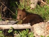 bear cub YELS2567.JPG