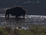bull bison steam YELS0031-ps.jpg