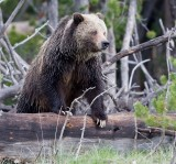 grizzly YELS1387.jpg